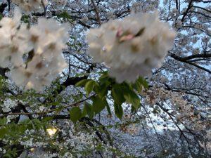 中止・目黒川の桜祭り・閑散とした屋台【お花見ギャラリー】