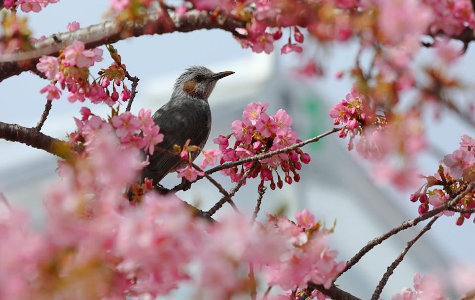 ヒヨドリ 桜
