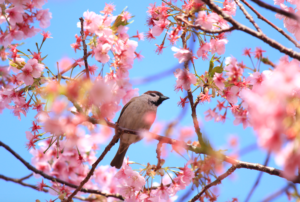 sparrow on cherry blossoms