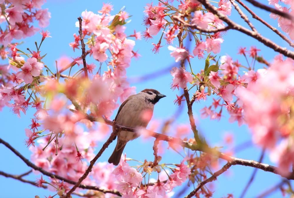 スズメが桜の花を落とす理由・【動画・写真】 | Furublog